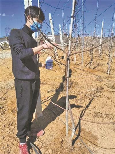 中国农业大学学生蒋沁宏在家乡四川盐源县的一家苹果种植合作社对苹果树修枝整形。