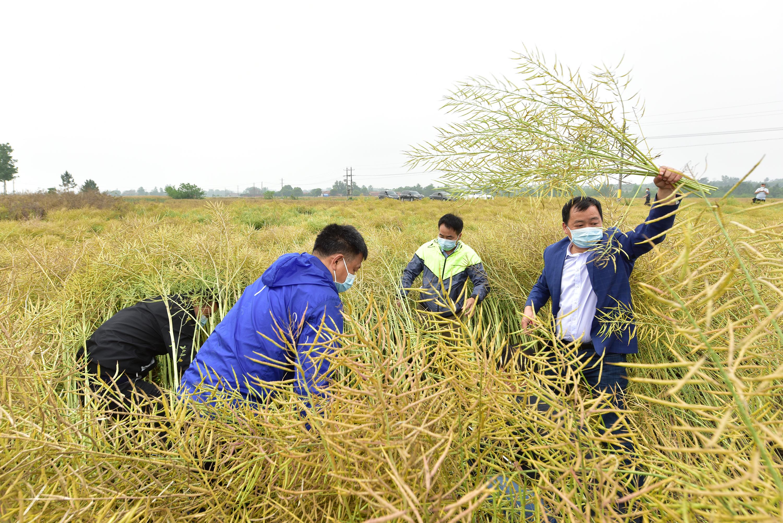 工作人员测产油菜产量