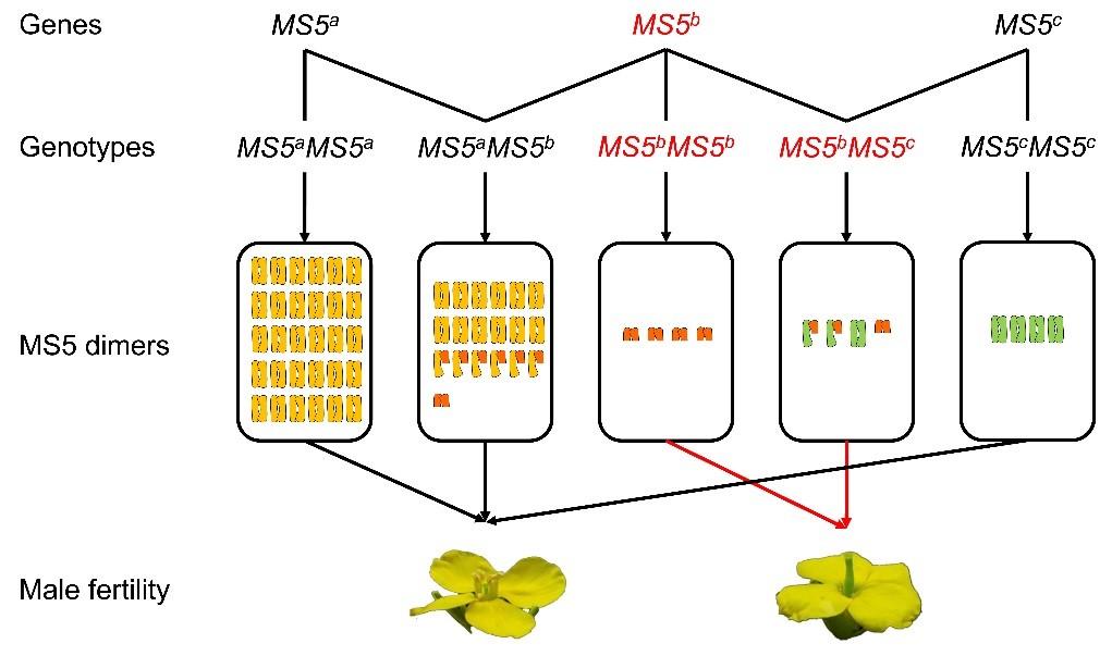 图 MS5复等位遗传分子机理
