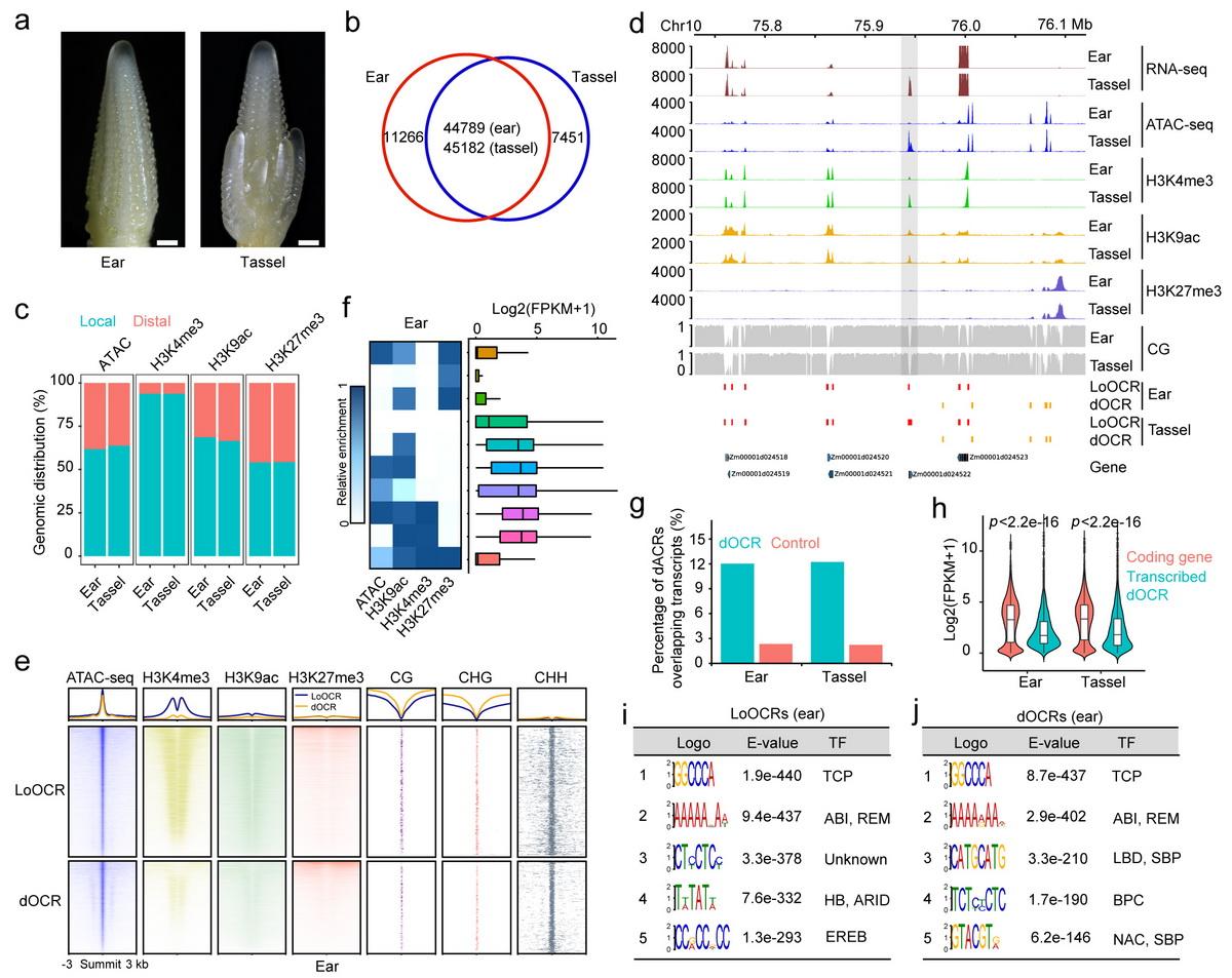 玉米雌、雄穗中开放染色质区域和表观基因组特征的鉴定