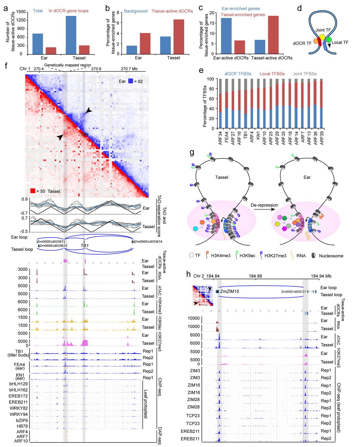 远端开放染色质区域的动态活性及转录因子结合有助于基因的组织差异表达