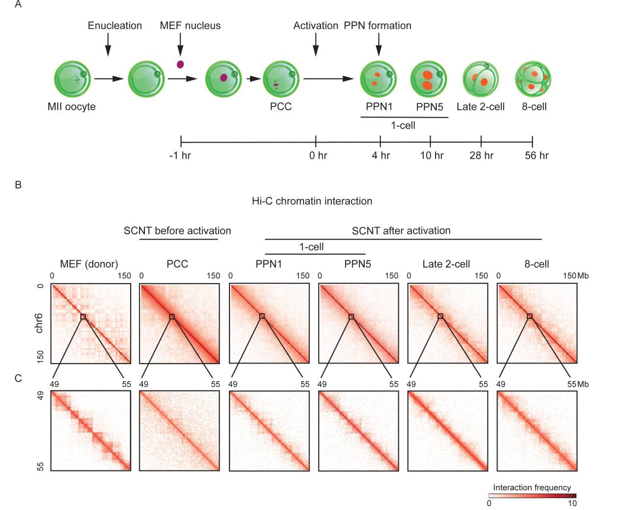 (体细胞核移植早期胚胎的染色质三维结构图)