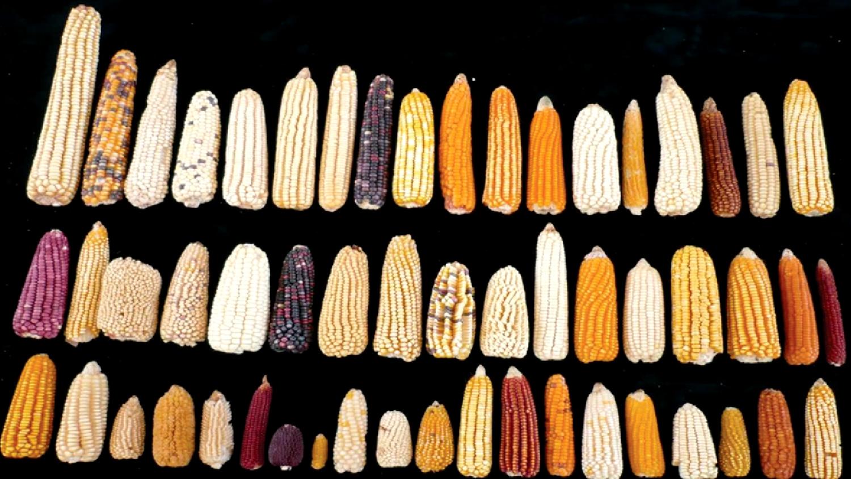 玉米表型多样性-严老师综述