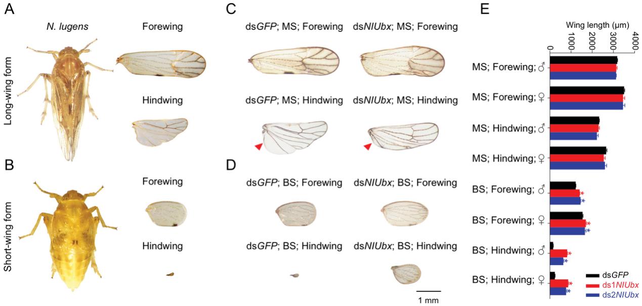 图1. 翅型发育关键基因沉默后显著影响了褐飞虱翅大小。