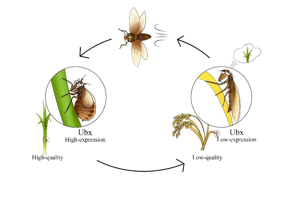 图2. 翅型发育关键因子在褐飞虱暴发危害中的作用。