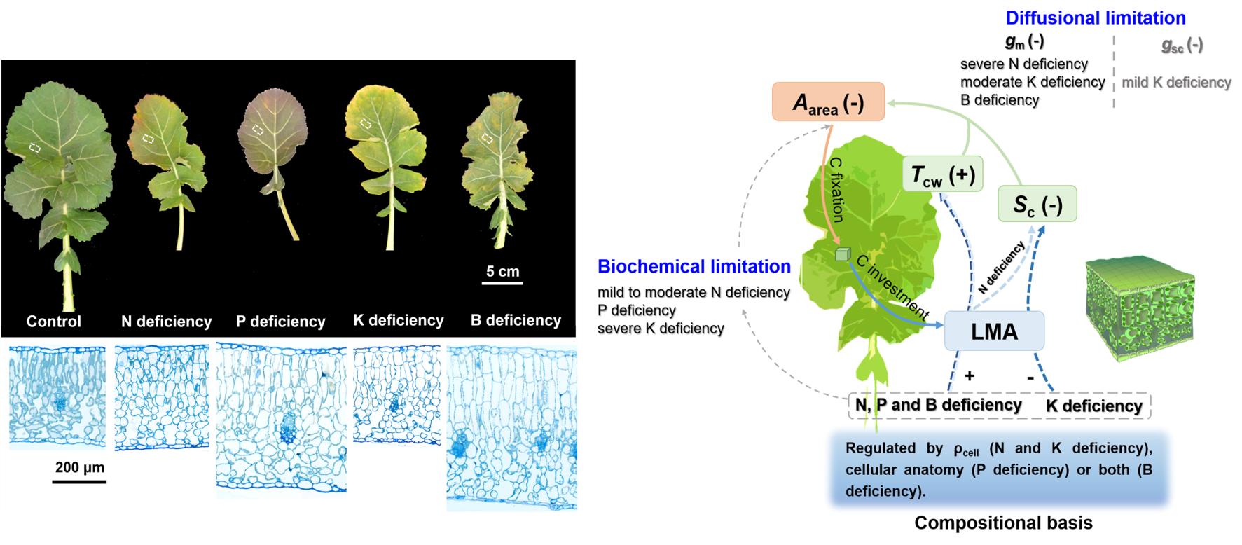 营养元素对油菜叶片表型的影响(左)及其调控叶片碳平衡的机制(右)