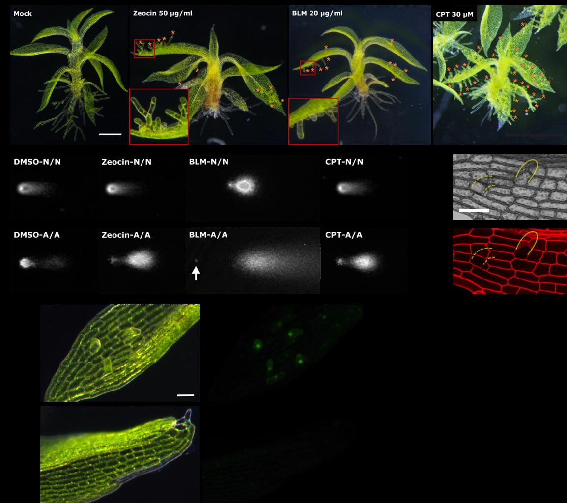 图1:DNA损伤诱导试剂引起植物叶片细胞不依赖于死细胞重编程为干细胞及其分子机制。标尺:1 mm(a);100 µm(c,d)