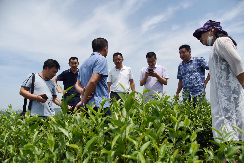 调研茶产业(川竹 摄)
