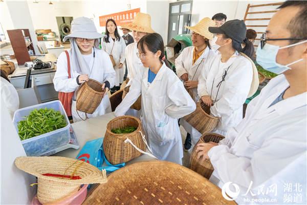 茶学1701班同学正在称量新采的茶叶。刘博文摄
