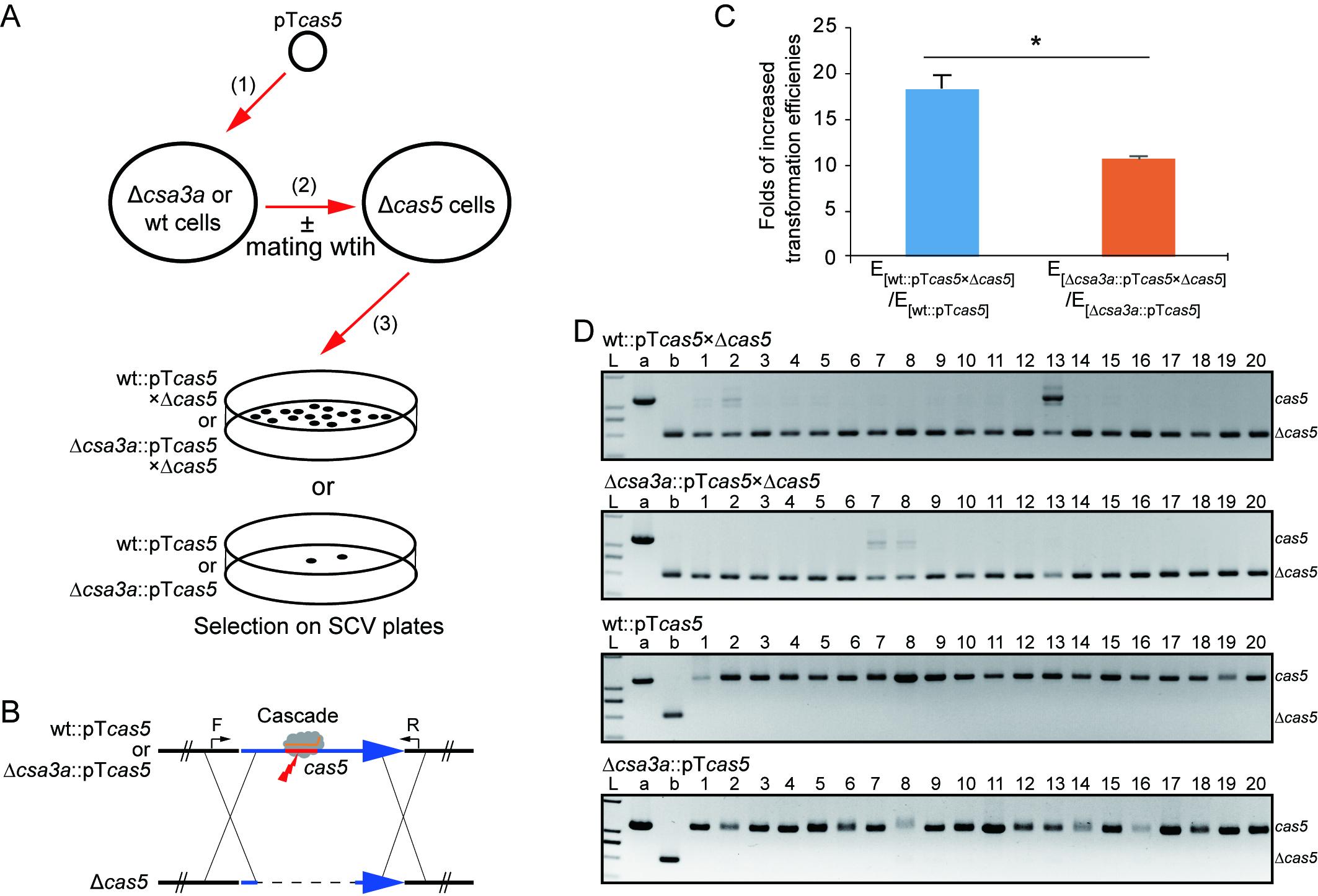 图1. DNA传输和修复实验