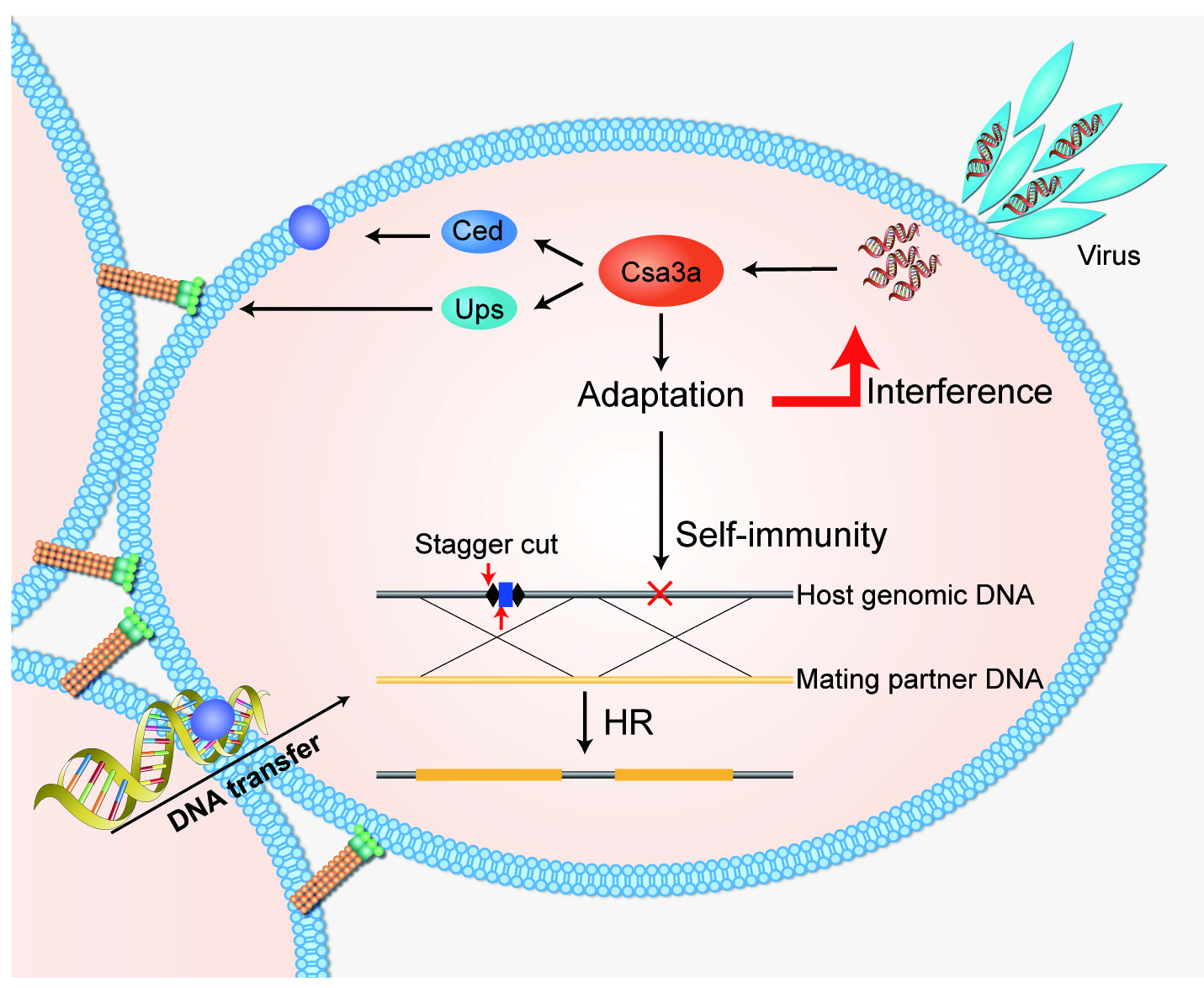 图2. Csa3a调控Ups和Ced系统参与修复由CRISPR自免疫造成的基因组DNA损伤
