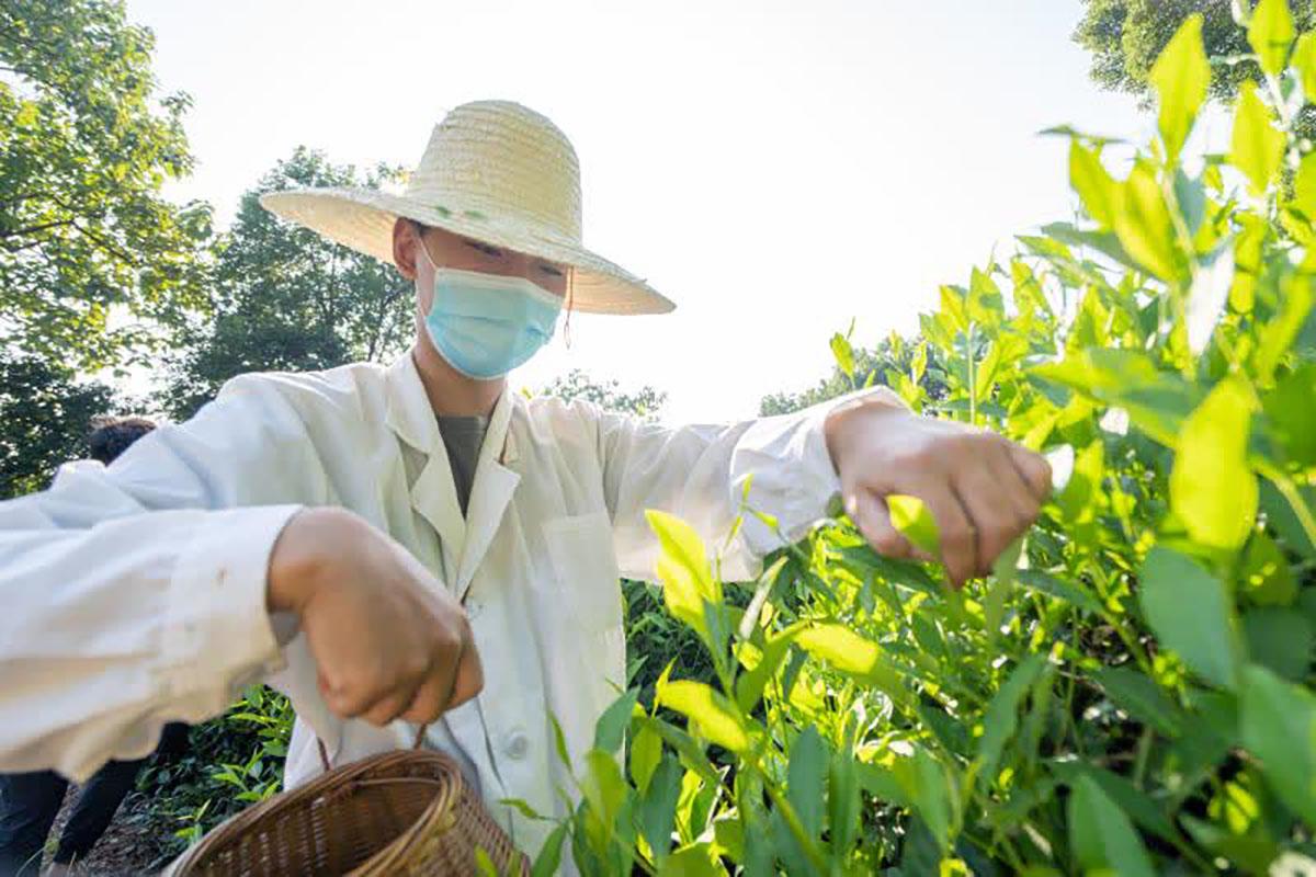 华中农业大学学生在实验茶场采茶(刘博文摄)