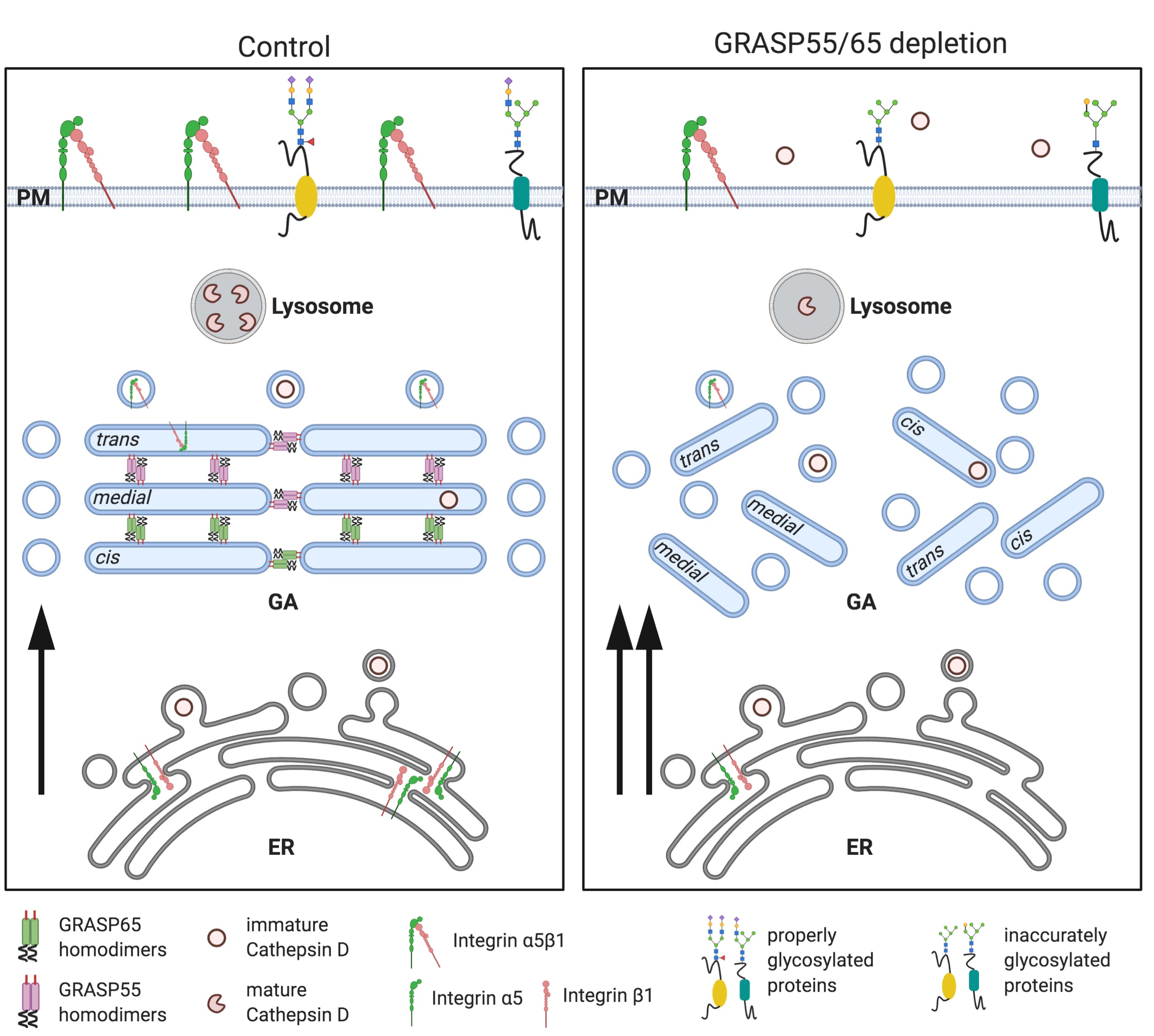 GRASP蛋白维护高尔基体结构,对蛋白质的正确糖基化修饰和分选起重要调节作用