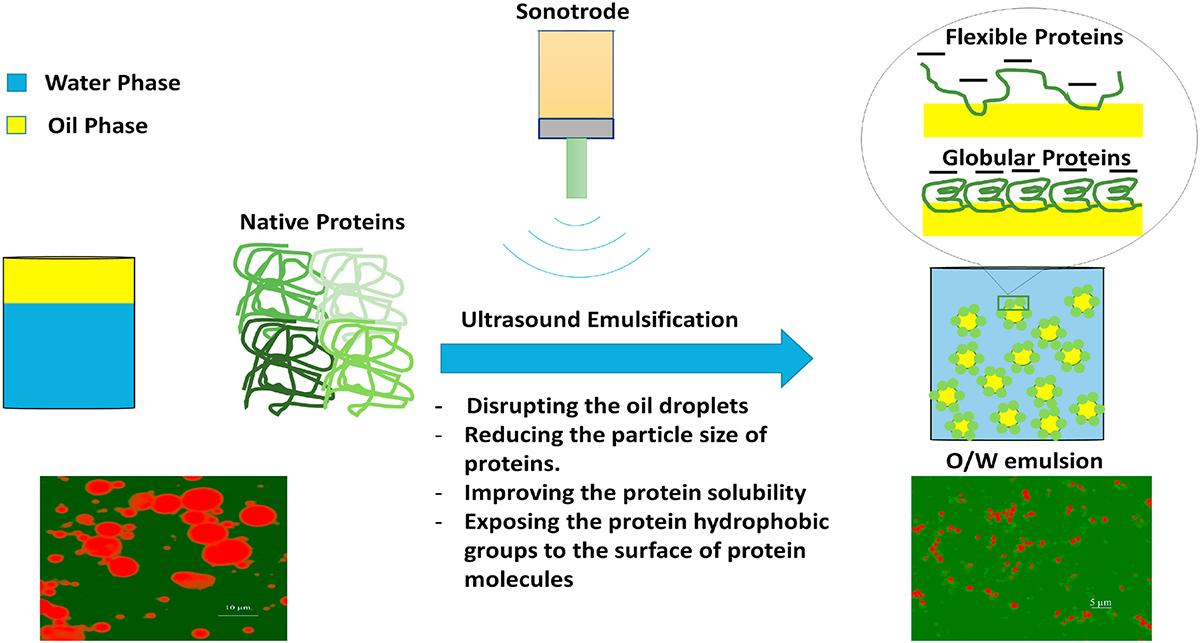 图1-超声乳化构建食品蛋白质不变乳状液潜在机制示意图