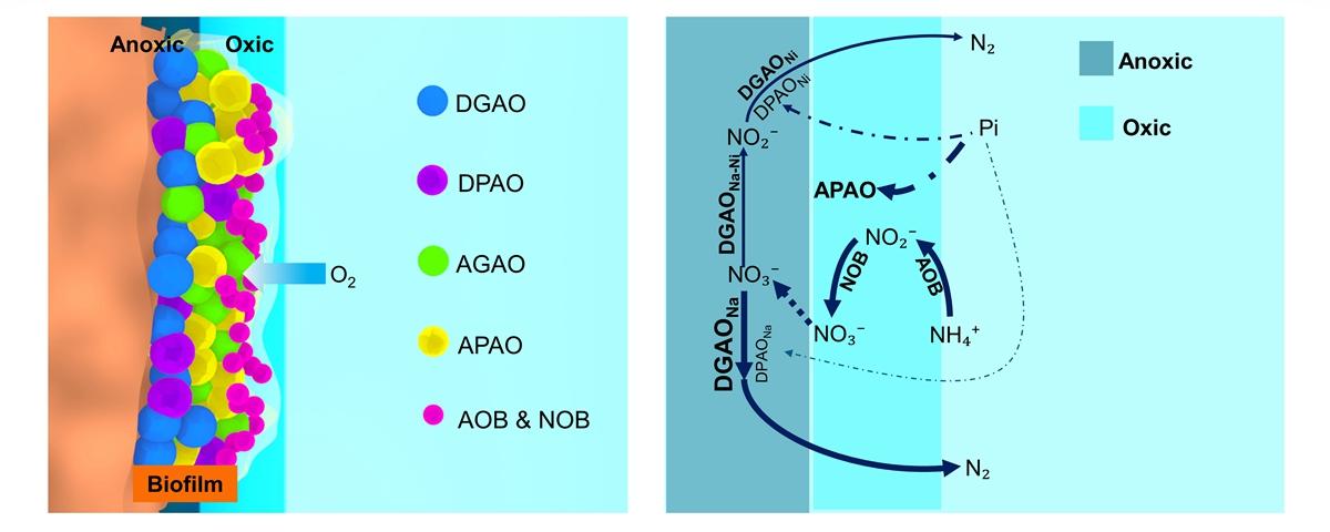 附件2 EBPR与SNED结合型人工湿地功能细菌分布情况及氮磷去除途径