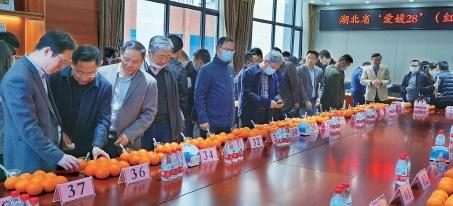 鉴评专家在对柑橘进行评分