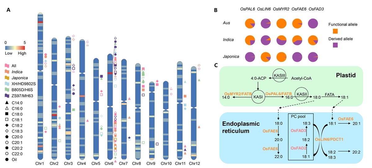 稻米中油脂合成的遗传结构以及初步的油脂合成代谢途径_副本