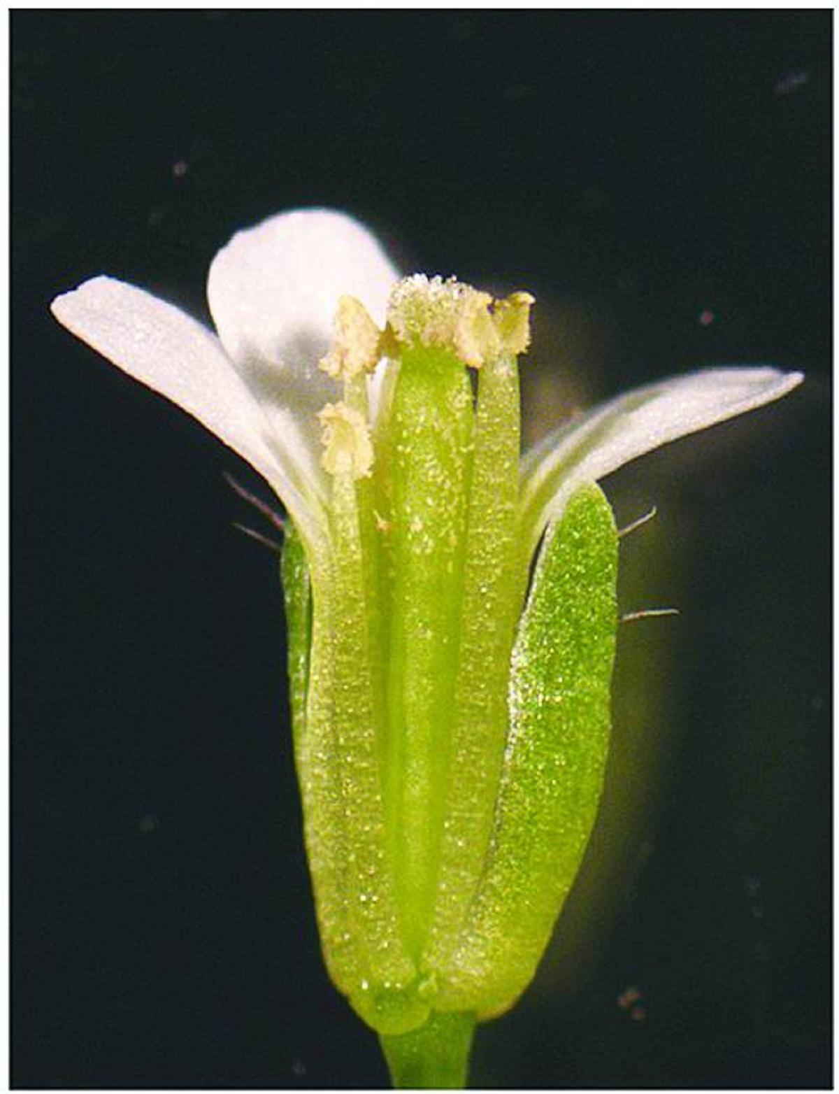 刚刚授粉的拟南芥花,摘掉了部分萼片和花瓣。段巧红供图