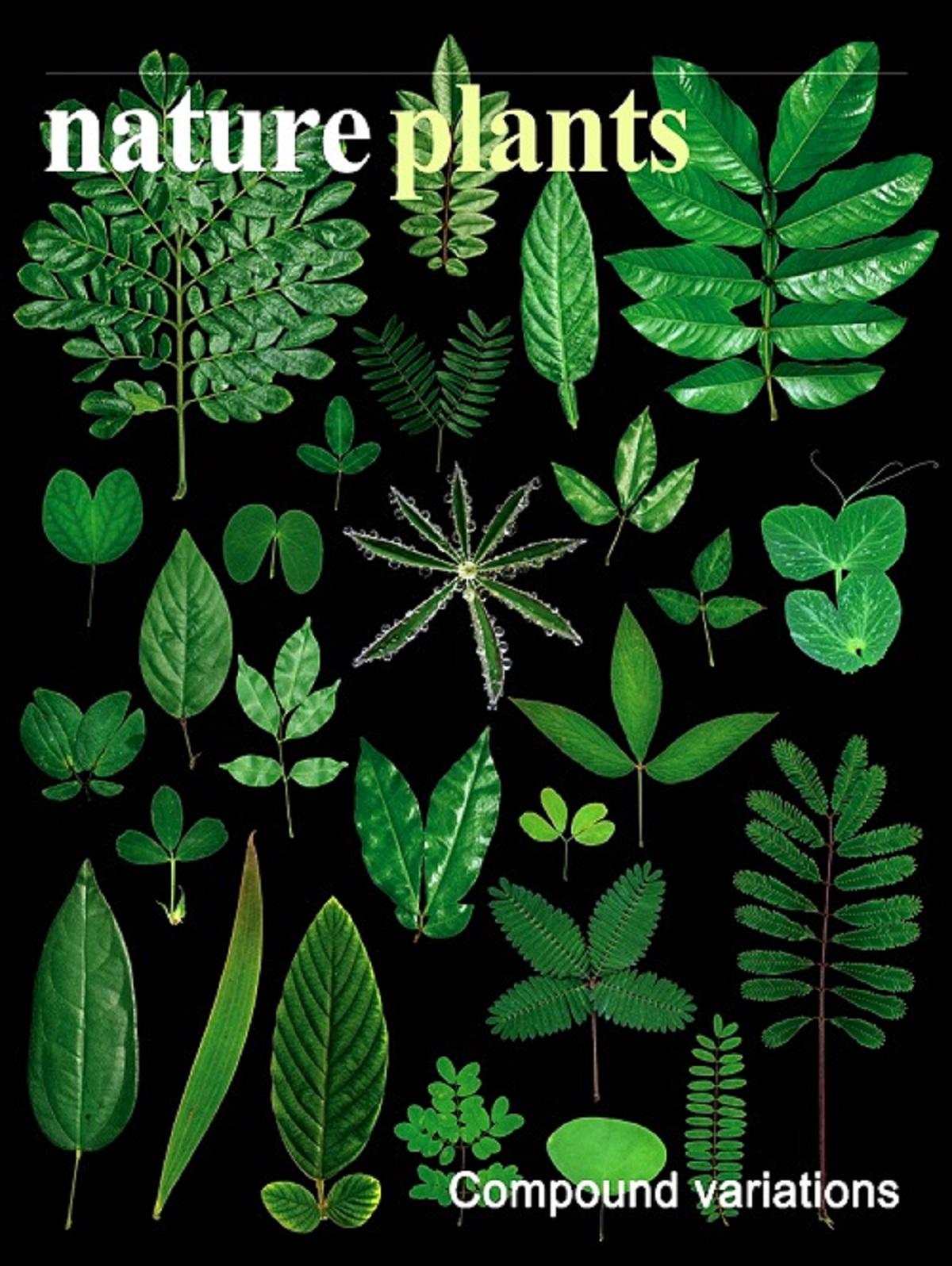 研究成果被选为《自然—植物》封面故事。     陈江华供图