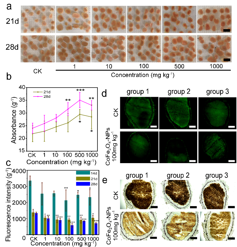 CoFe2O4-NPs纳米酶对ROS含量的影响