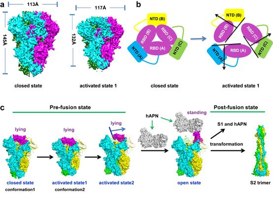 HCoV-229E刺突蛋白从非激活态到激活态的构象变化