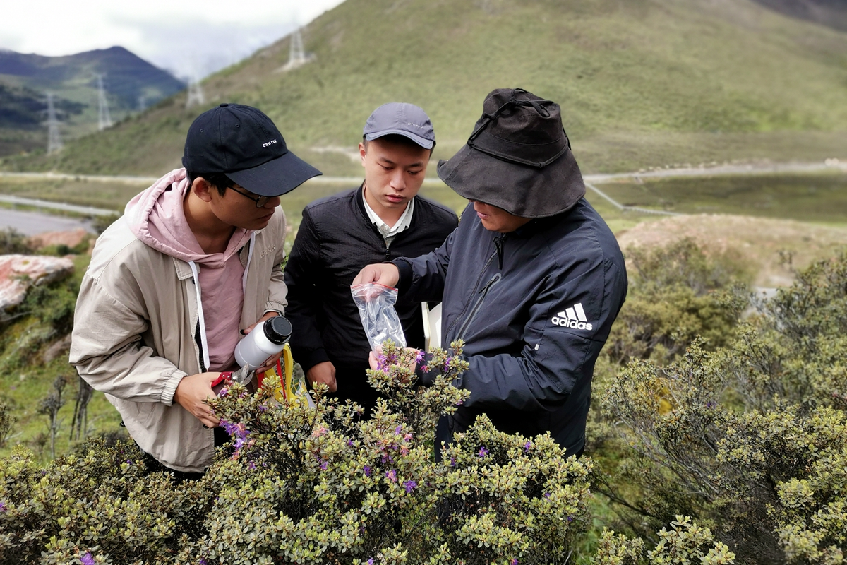 2020年7月在林芝市巴宜区色季拉山收集西藏野生花卉资源(右1)_副本