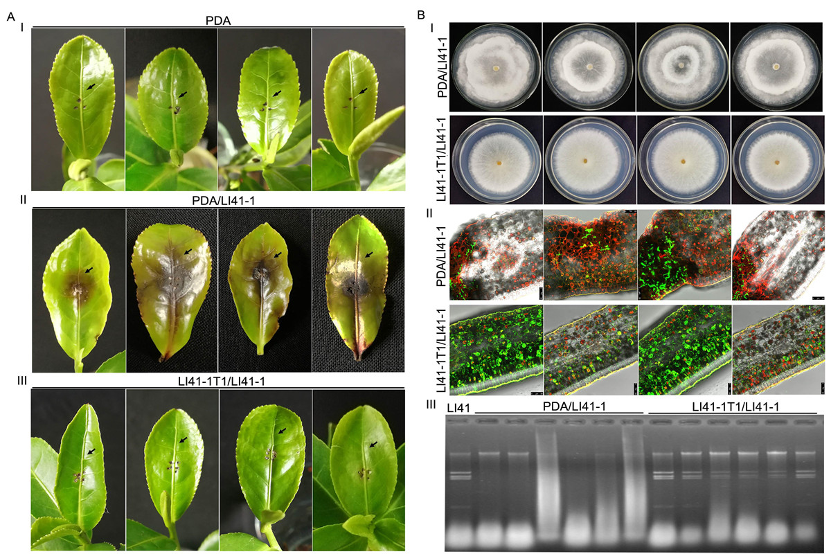 <p>图1 茶拟盘多毛孢金色病毒1对茶拟盘多毛孢生物学影响及介导的防病作用</p> (1)(1)