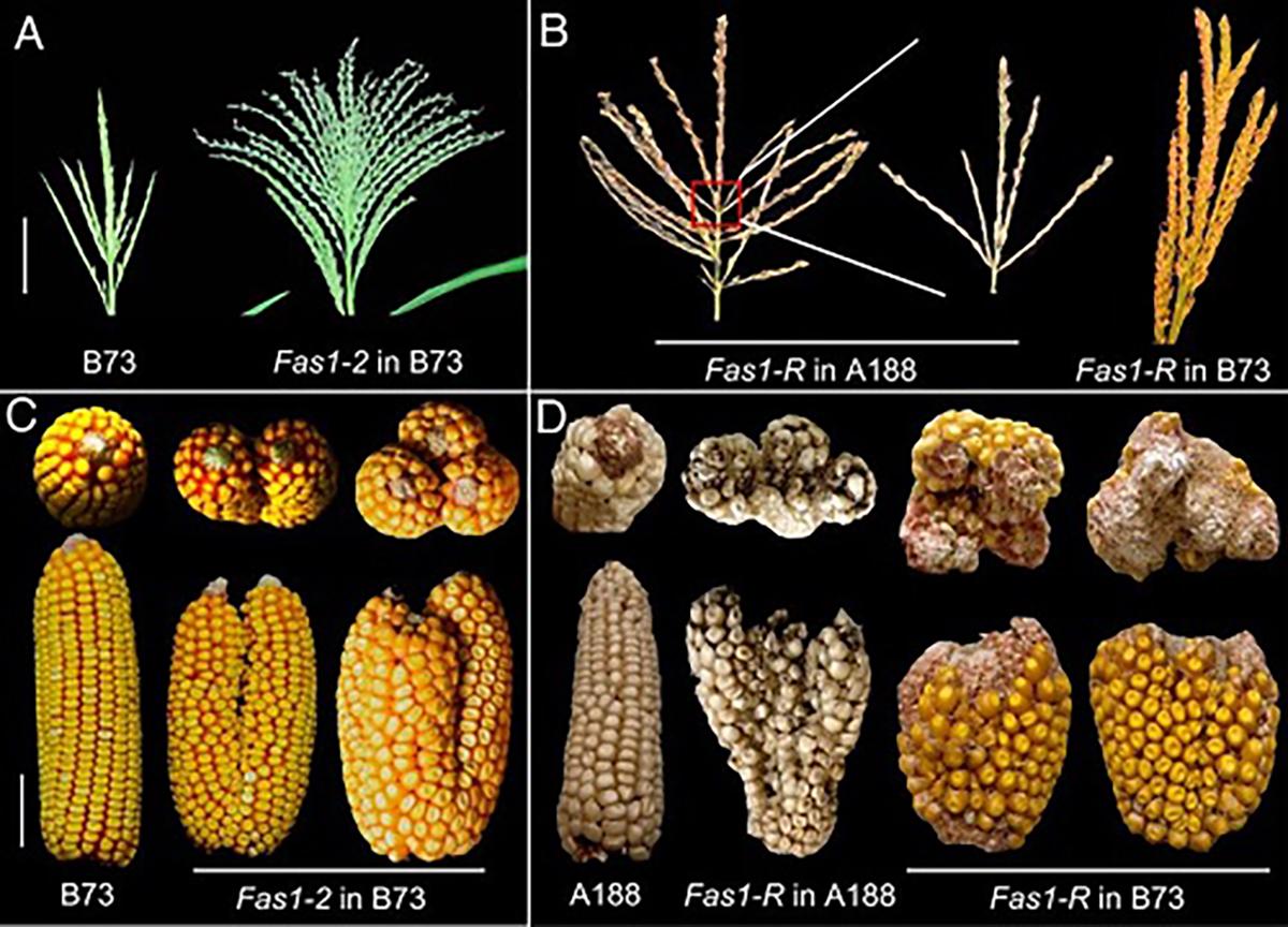 Fas1突变体的花序结构 华中农大供图