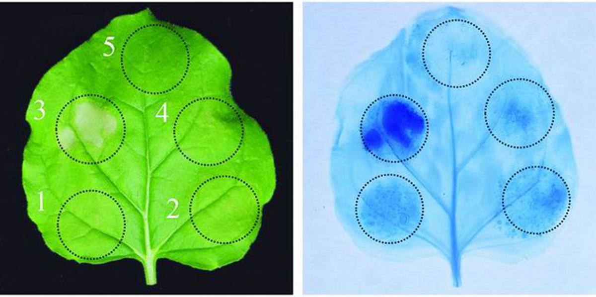 Fov7在识别到病原存在时会启动植物的免疫反应