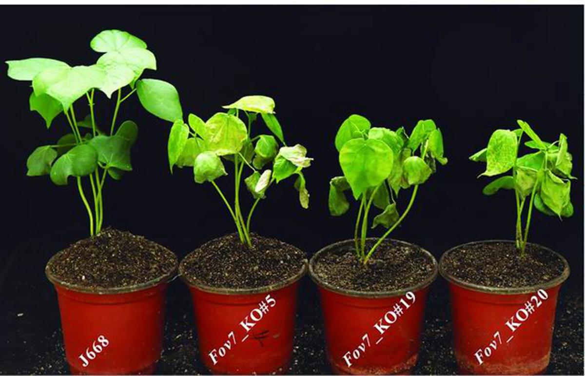 Fov7基因突变会使棉花更易感病 华中农大供图