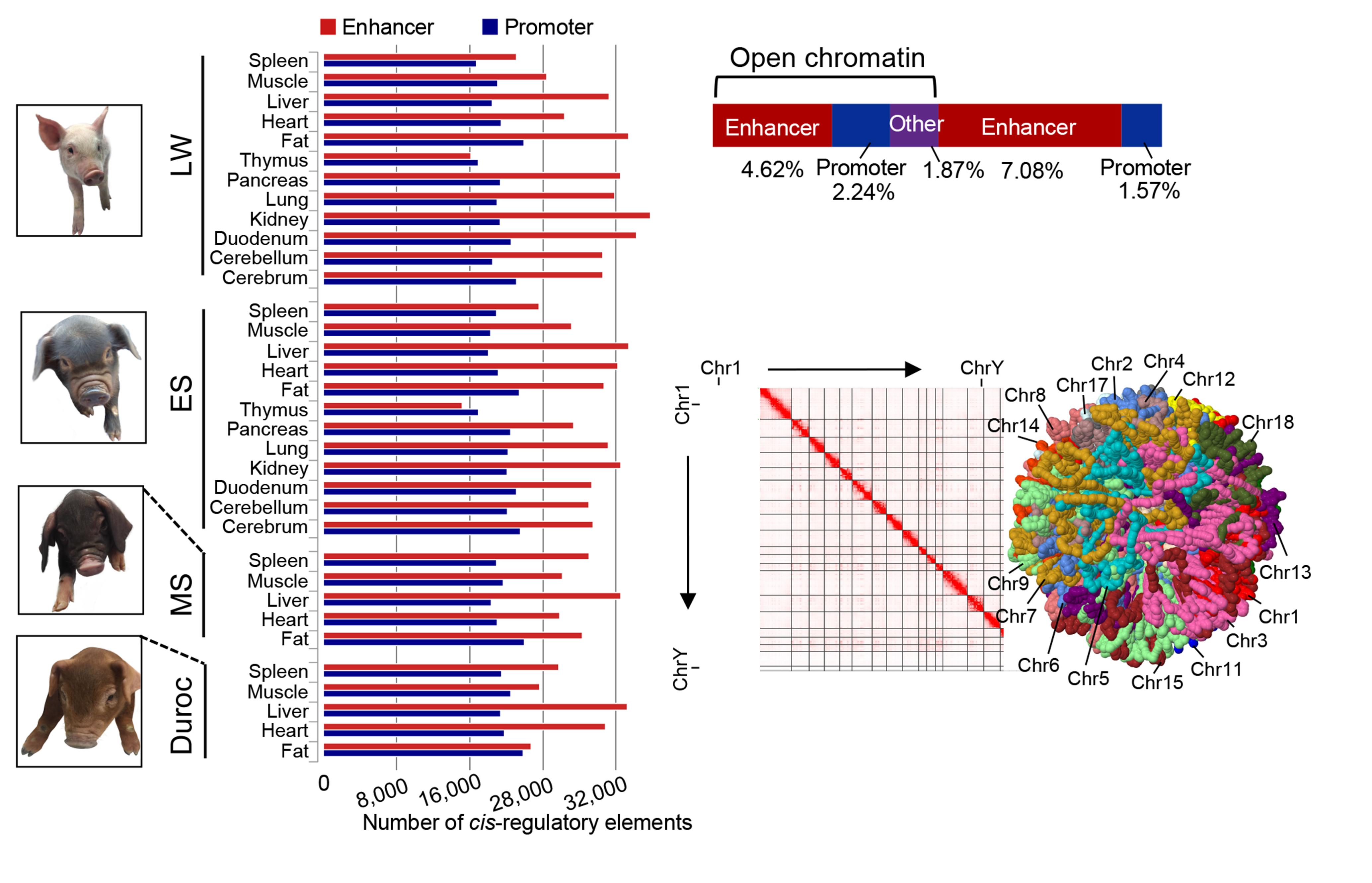 不同猪种基因组顺式调控元件和三维染色质结构