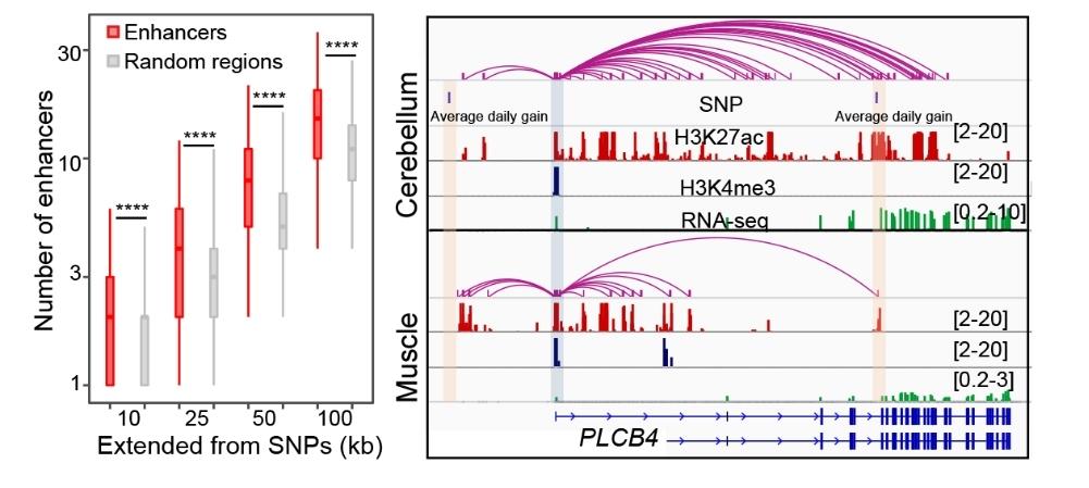 GWAS位点在猪基因组增强子附近的分布