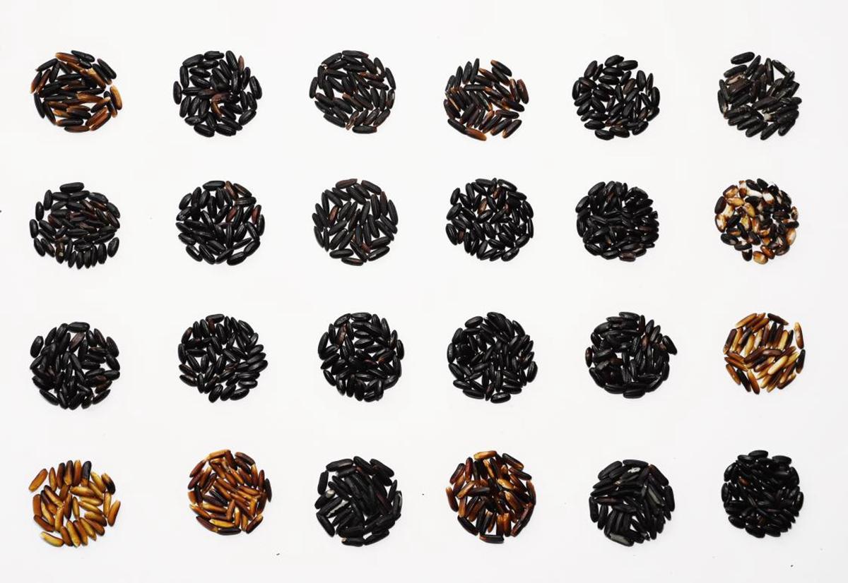 多个品种黑米。张庆路摄