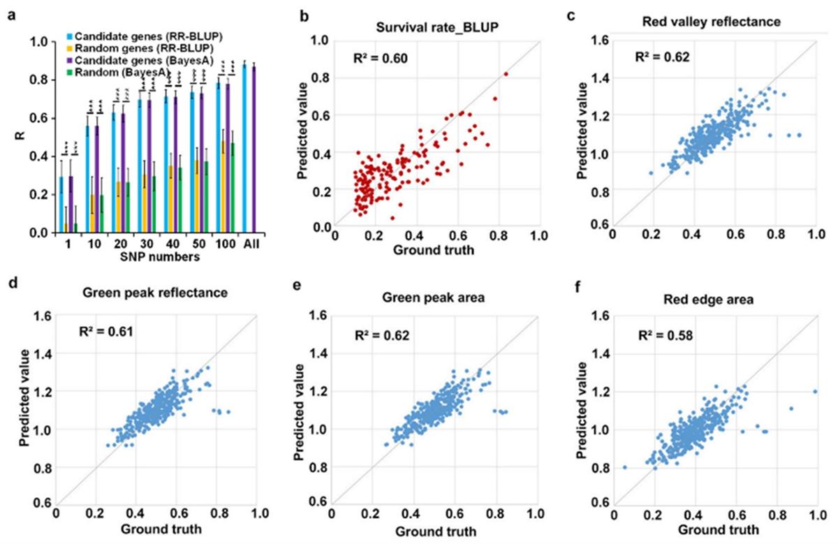 图4. 候选基因和图像性状i-traits预测玉米存活率。a.利用全基因组选择模型对玉米存活率进行预测;b.利用15个图像性状i-traits预测玉米存活率;c-f. 15个图像性状预测4个光谱指数。
