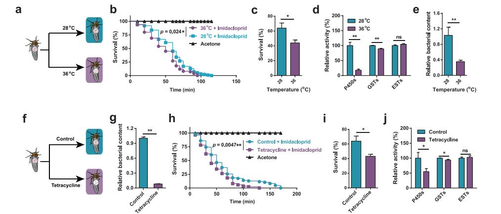 高温及抗生素抑制褐飞虱共生菌介导的解毒代谢