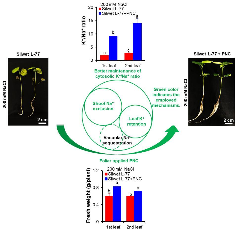 氧化铈纳米颗粒通过促进叶片K+滞留和Na+外排,而不是Na+液泡存储,维持了钠钾稳态,从而提高了棉花耐盐性。