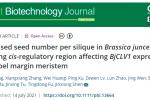 傅廷棟院士團隊揭示芥菜型油菜BjCLV1基因調控產量相關性狀的新機制