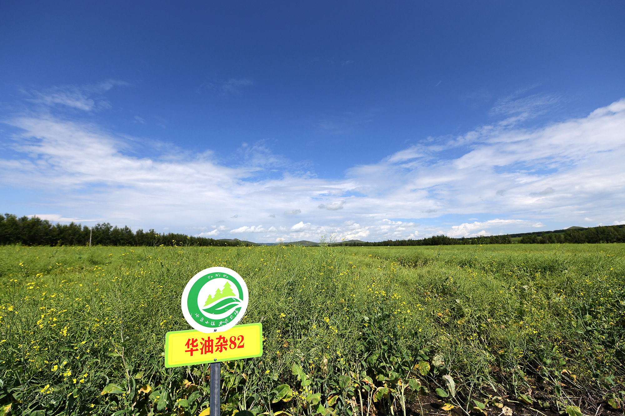 国家油菜良种攻关项目油菜新品种展示试验及油菜新品种示范现场(记者 刘涛 摄)
