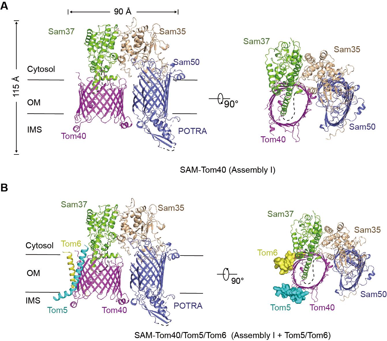 图2. TOM转位酶复合体组装中间态的三维结构