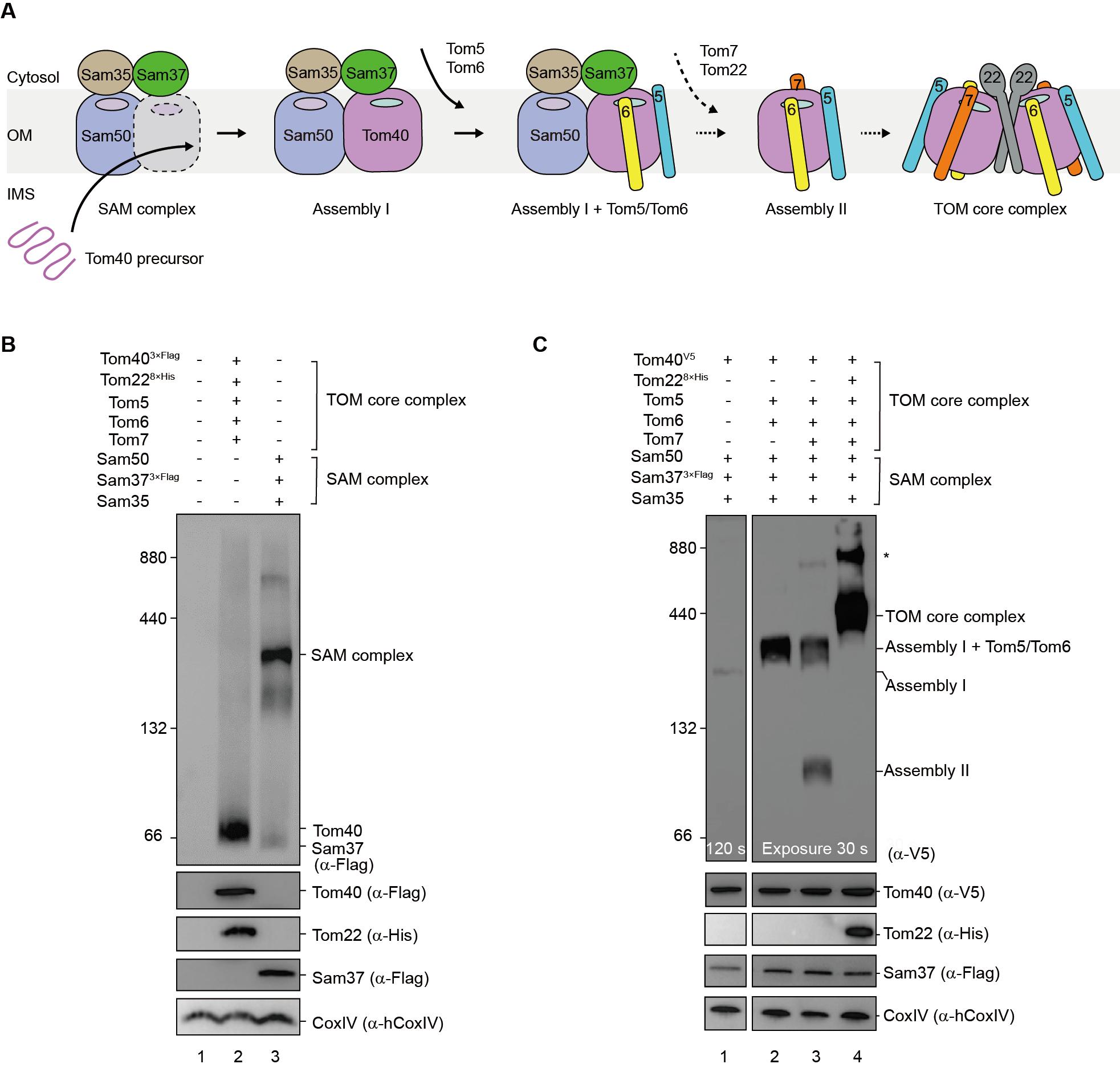 图1. TOM转位酶复合体的组装