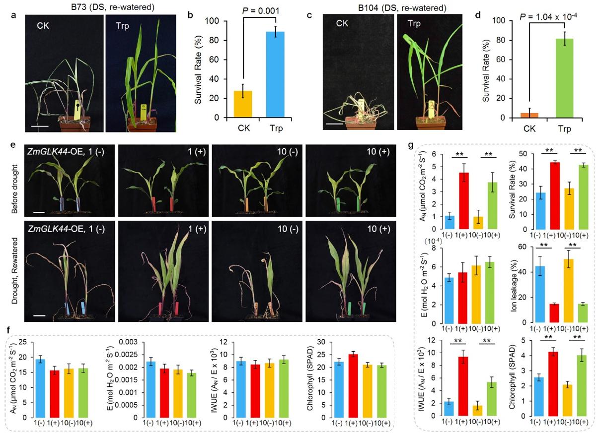图3 ZmGLK44的抗旱功能解析。a-d 外施色氨酸促进玉米抗旱;e-g ZmGLK44诱导表达促进植物抗旱,提高干旱条件下的水分利用效率。