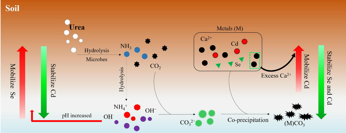 "Microbial Induced Carbonate Precipitation (MICP) 技术""固镉提硒""的作用过程"