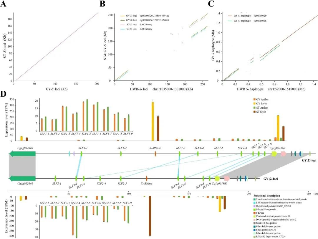 Fig.4Structural variant analysis of S loci