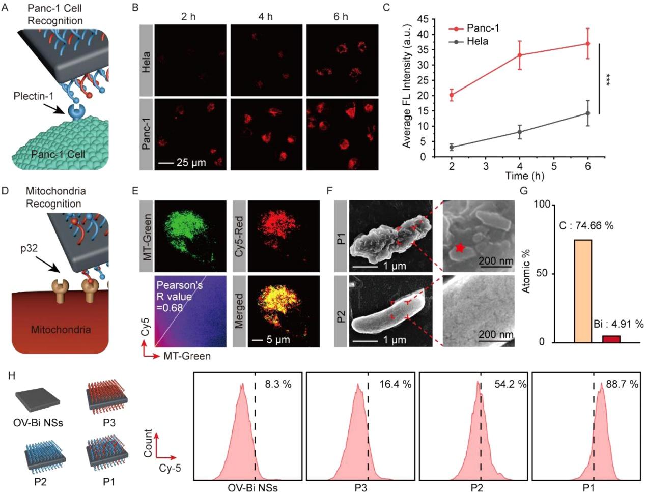 图2. BSP的蛋白质识别能力及其胰腺癌细胞线粒体靶向功能