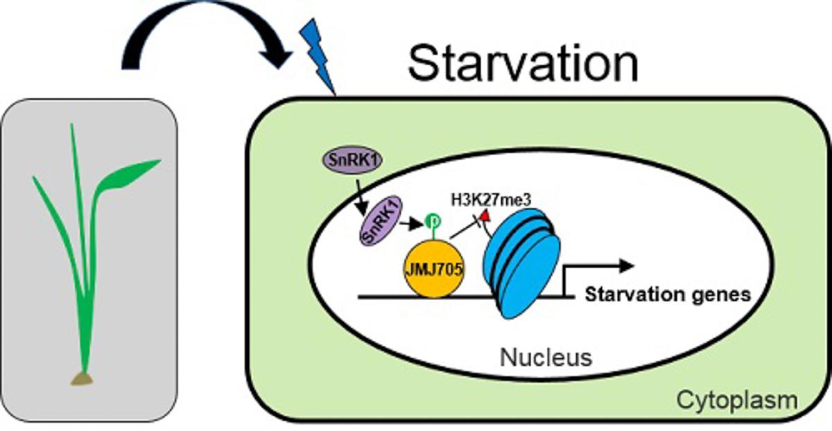 水稻能量稳态调节的相关表观遗传学机制