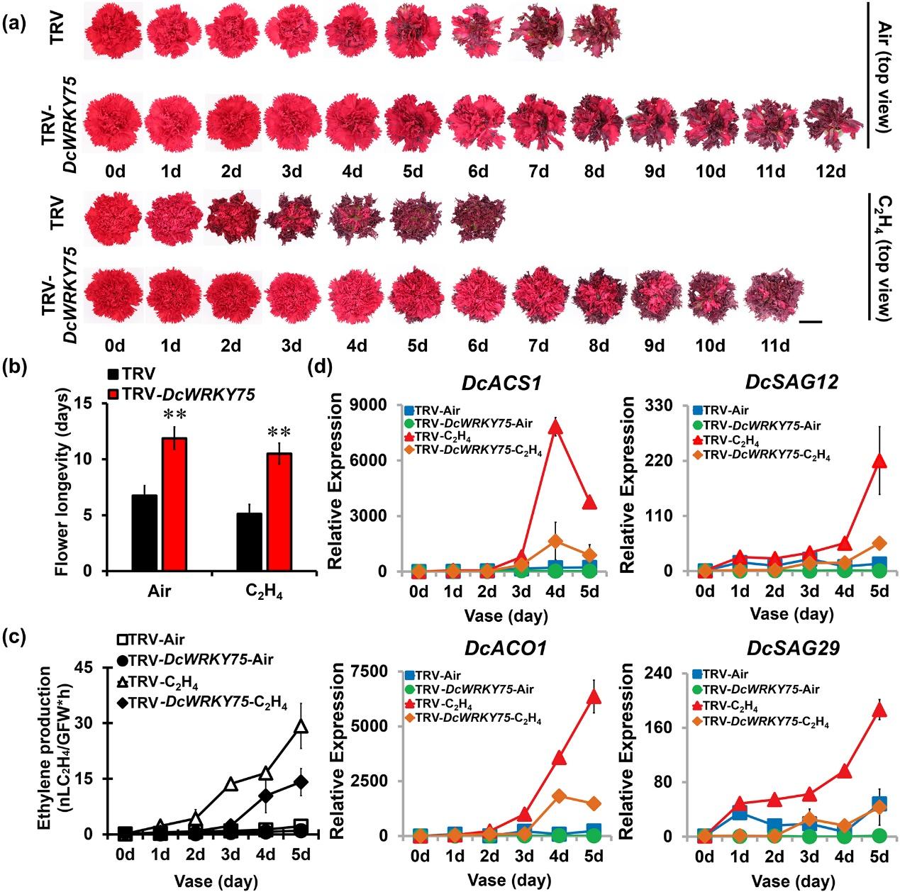 图1. 沉默DcWRKY75能够明显延长乙烯诱导的康乃馨花瓣衰老过程