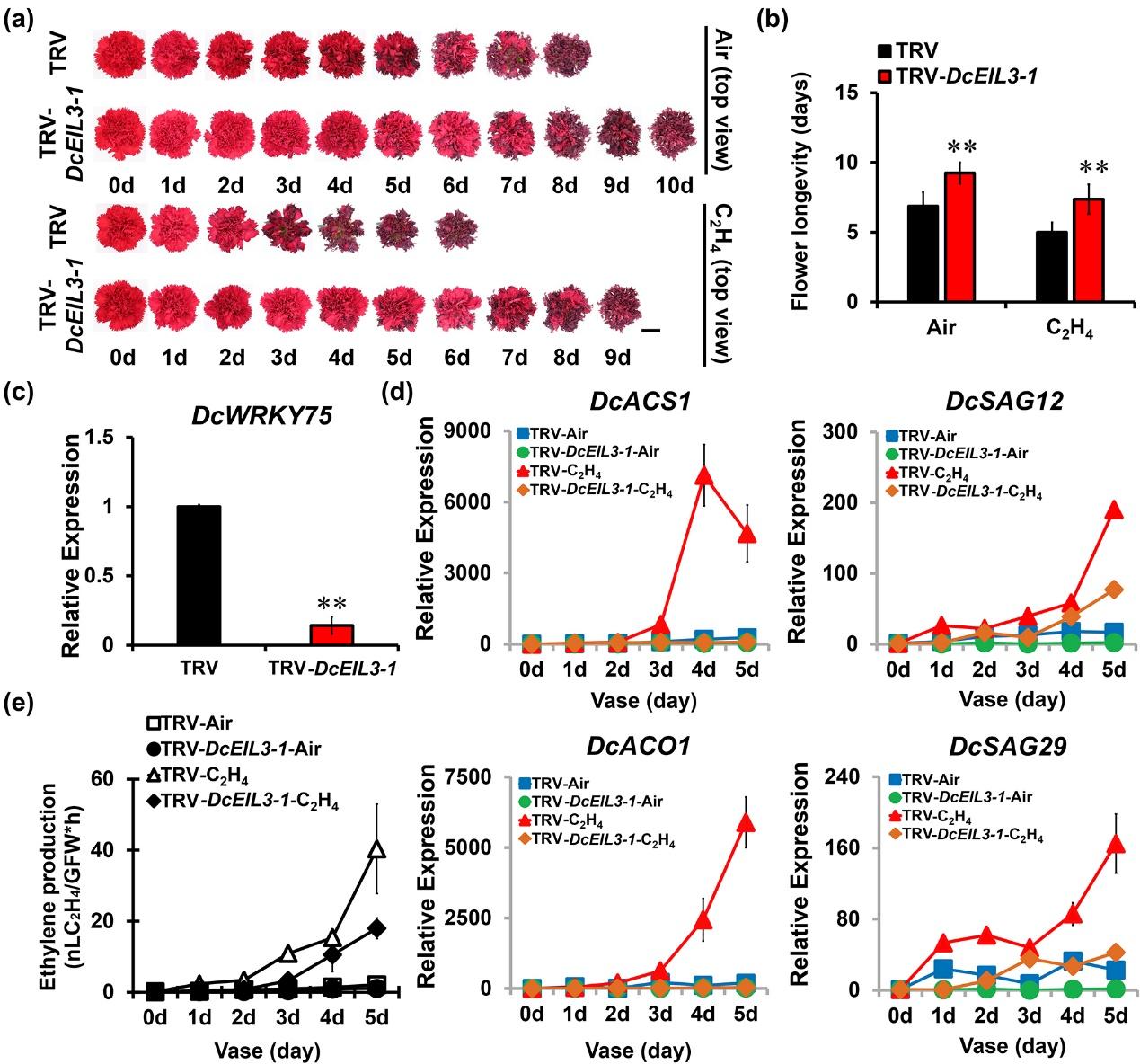 图2. 沉默DcEIL3-1能够明显延长乙烯诱导的康乃馨花瓣衰老过程