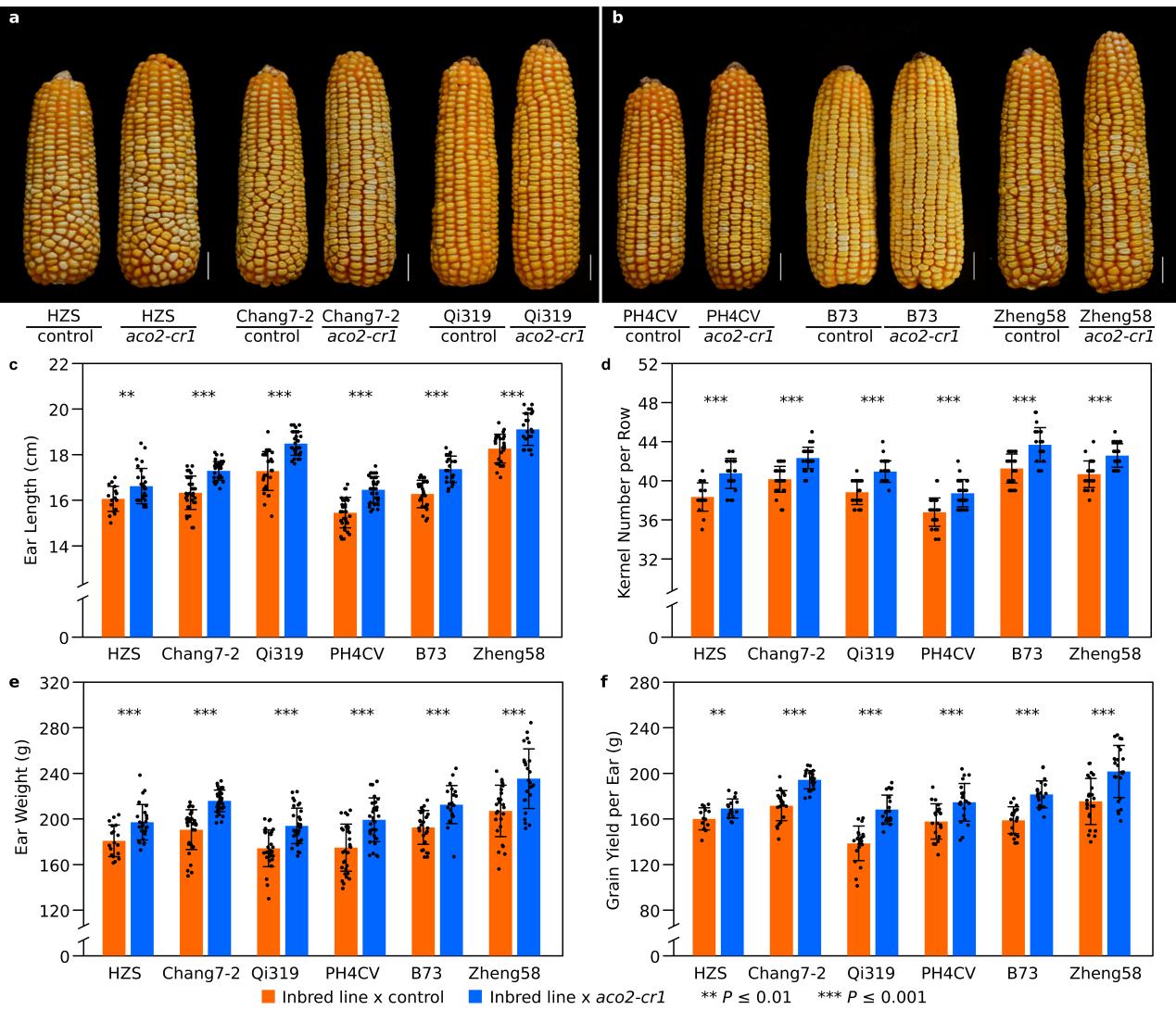 图1 ZmACO2基因敲除家系衍生杂交种的产量相关性状评价