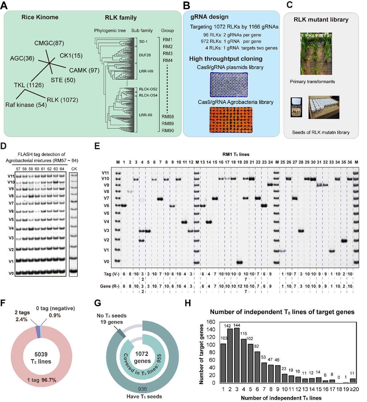 靶向编辑水稻RLK基因家族